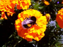 Bumblebee. Collects honey from marigolds Stock Photography