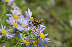 Bumblebee collects nectar from the blue chamomile. Striped bumblebee collects nectar from flower blue chamomile royalty free stock photo