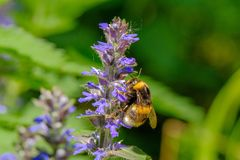 Bumblebee collects nectar from a blue flower stock image