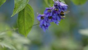 Bumblebee collects nectar stock video footage