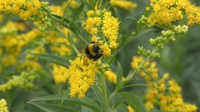 Bumblebee collects nectar stock video