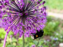 Allium and bumblebee. The bumblebee collects nectar from flowers of an allium Stock Images