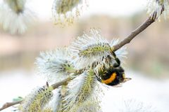 Bumblebee collects nectar from flowers stock photo