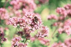 Bumblebee collects nectar from flowers of mint. Bee sitting on pink flowers, summer Stock Photography