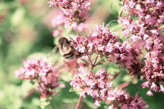 Bumblebee collects nectar from flowers of mint. Bee sitting on pink flowers, summer Stock Image