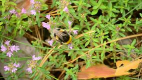 Bumblebee collects nectar or pollen from wild thyme stock footage