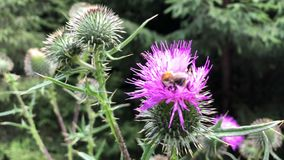 Bumblebee collects nectar from purple flowers. stock footage