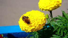 Bumblebee collects nectar stock footage