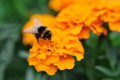 Bumblebee collects pollen stock photography