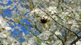 Bumblebee collects pollen from flowers of apple stock video