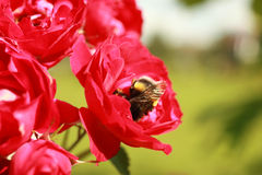 A bumblebee collects pollen from the flowers of a rose Royalty Free Stock Image