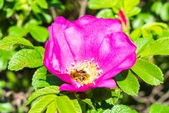 bumblebee collects pollen from pink blossom royalty free stock photography