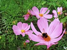 The bumblebee collects pollen on a pink cosmea stock image