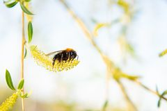 Bumblebee collects pollen from a willow flower stock images
