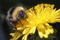 Bumblebee collects pollen from the yellow flower. royalty free stock image