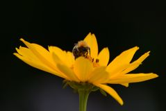 Bumblebee collects pollen on a yellow flower with a yellow core stock photo