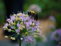 Bumblebee on Colorful Summer Flower Bloom. Bumblebee sitting atop a colorful summer flower Royalty Free Stock Image