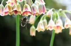 Bumblebee Stock Photos