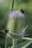 Bumblebee on a common teasel Stock Images