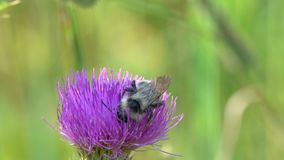 Bumblebee is on a common thistle flower.  stock footage