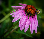 Bumblebee on cone flower Stock Photo