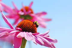 Bumblebee on coneflower. Perfect nature floral background or wallpaper with bumblebee drinking nectar of pretty pink coneflower, Echinacea purpurea against Stock Photo