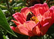 Bee and Flower. Close up of bumblebee on yellow stamen of coral zinnia in sunny garden Royalty Free Stock Photography