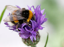 Bumblebee on cornflowers in the garden! Stock Photography