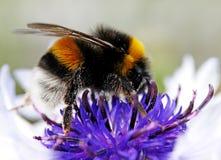 Bumblebee on cornflowers in the garden. Stock Images