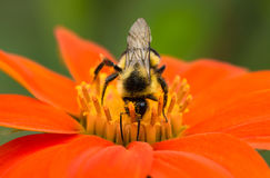 Bumblebee covered in pollen Stock Photography