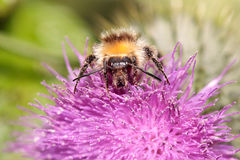 Bumblebee covered with pollen Royalty Free Stock Photography
