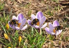 Bumblebee  on crocuses. Bumblebees sit on colors crocuses Royalty Free Stock Photo