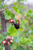 Bumblebee on currants Stock Images