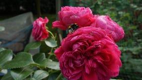 Bumblebee czerwieni róża zdjęcia stock