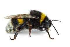 bumblebee czołganie Obrazy Royalty Free