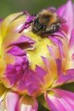 Bumblebee - dahlia blossom Royalty Free Stock Photography