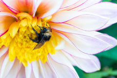 Bumblebee and Dahlia. A dew covered bumblebee clings to a large dahlia blossom in Golden Gate Park's Dahlia Garden Royalty Free Stock Image