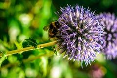 Bumblebee on dahlia flower background stock image