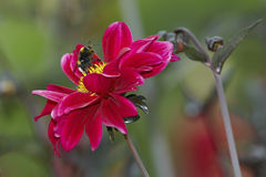 Bumblebee on dahlia Stock Photos