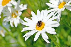 Bumblebee on a daisy flower Royalty Free Stock Images