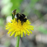 Bumblebee on dandelion Royalty Free Stock Photography