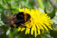 Bumblebee on dandelion Stock Images