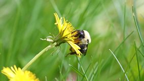 Bumblebee in a dandelion, beautiful unique yellow insect on top of a flower. Stock Image