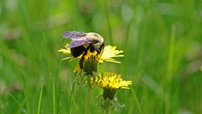 Bumblebee in a dandelion, beautiful unique yellow insect on top of a flower. Bumblebee in a dandelion, beautiful unique yellow insect on top of a flower during stock image