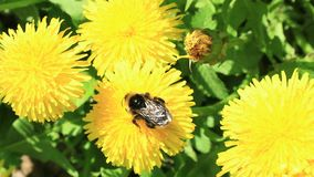 Bumblebee and dandelion. A bumblebee on the blossom of a dandelion stock footage