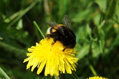 Bumblebee on a dandelion royalty free stock images