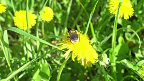 Bumblebee on dandelion collects pollen. 4K stock video footage