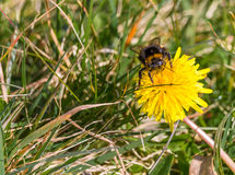 Bumblebee on dandelion Stock Photos