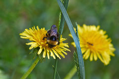 Bumblebee on a dandelion flowers. Stock Image