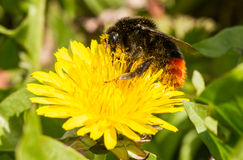 A bumblebee on a dandelion royalty free stock photography